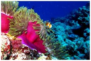 Nemo, the clownfish and a sea anemone
