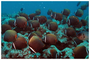 A shoal of collared butterflyfish (Chaetodon collare)