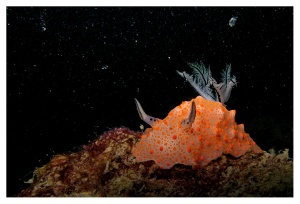 All that glittersSea slugs compensate for their small size and soft bodies by advertising their poisons through colour.Photo: Vardhan Patankar