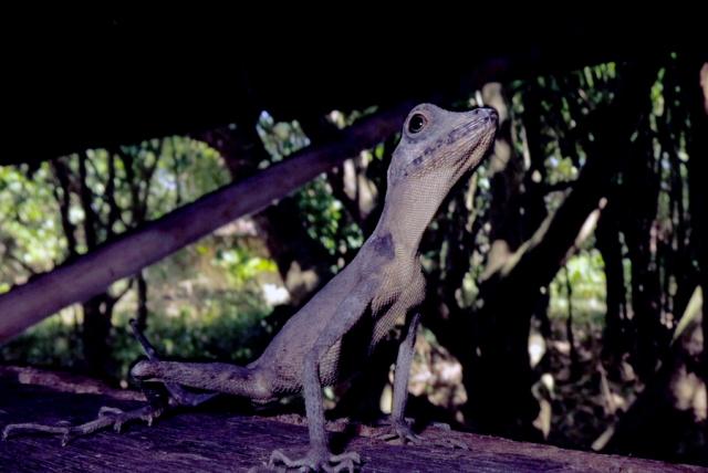 Bay island lizard
