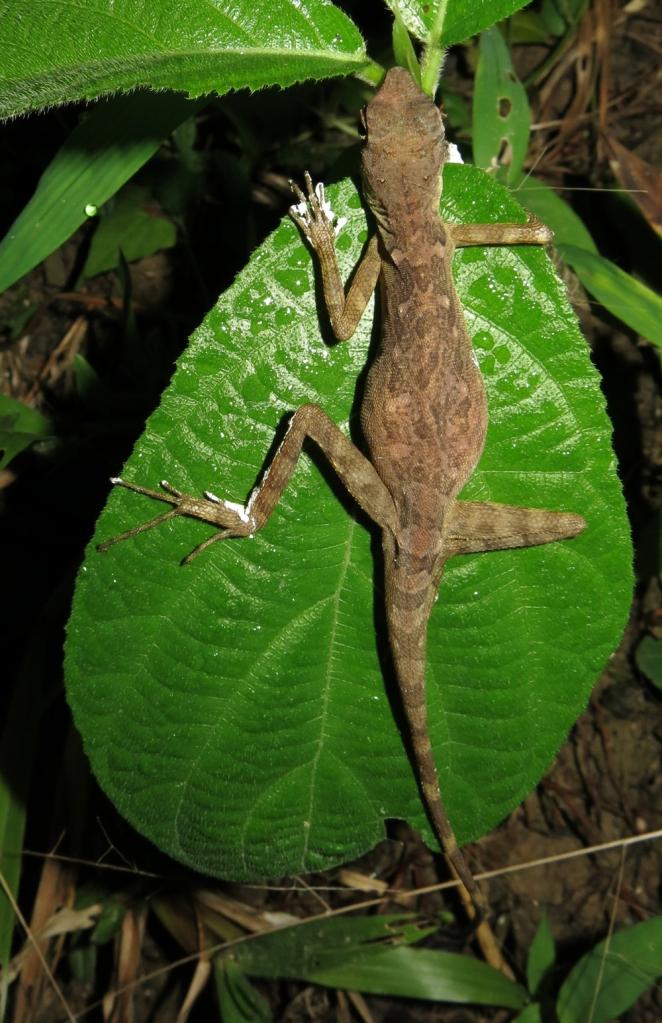Bay island lizard perching on the leaf.