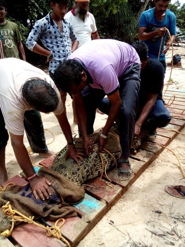 saltwater-crocodile-capture-in-south-andaman_photo-credit-yunis-khan