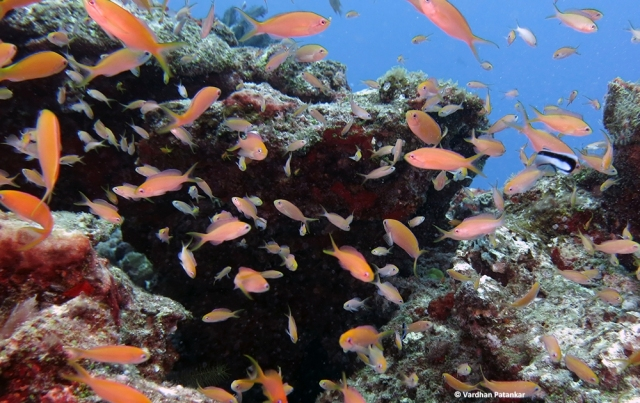 lyretail-orange-anthias-guarding-territory-on-the-reefs