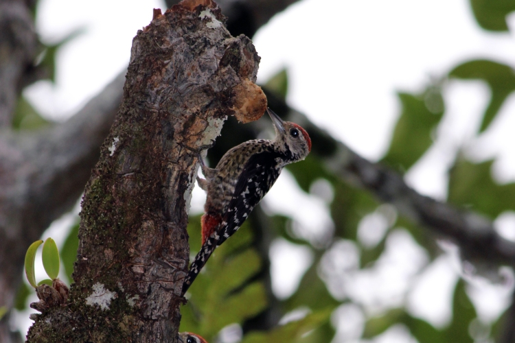 A fulvus-breasted woodpecker in the midst of the forest.JPG
