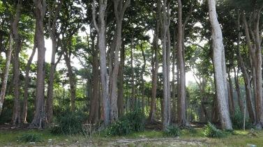 Mahua tress at Jahaji