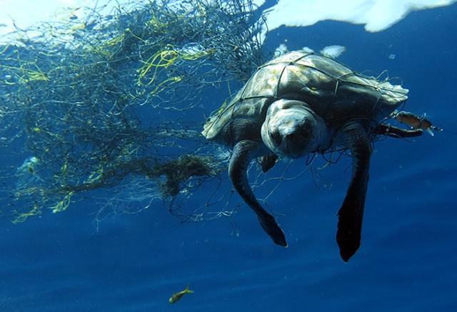 Entangeled juvenile olive ridley turtle_Andaman Islands_Vardhan Patankar
