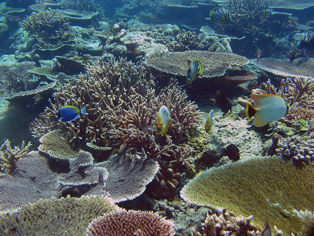 An example of a resilient reef with high coral cover, dominated by species likely resistant to coral bleaching_Vardhan Patankar
